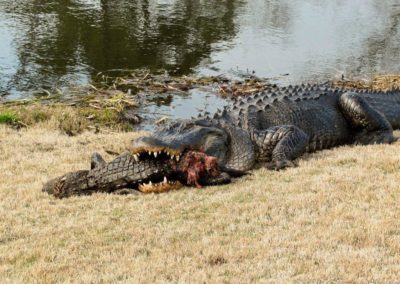 Gator Eating Gator by Kevin Sheehan